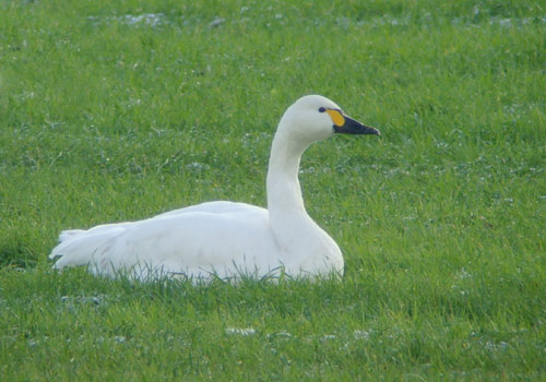 Bewick's swan by Will Soar