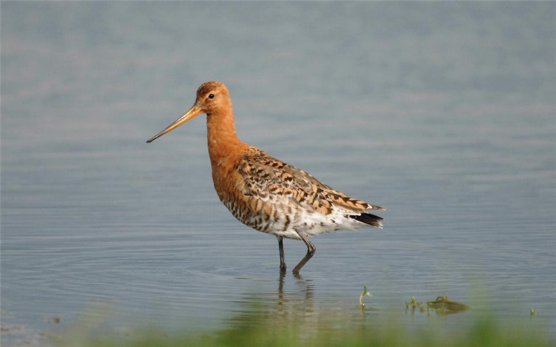Black-tailed Godwit at Cley by Julian Bhalerao