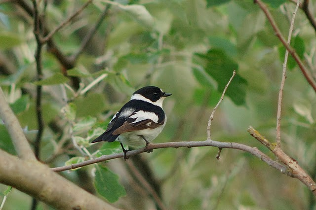 Collared Flycatcher by Julian Bhalerao