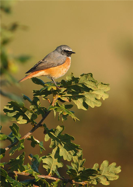 Common Redstart at Winterton dunes by Julian Bhalerao