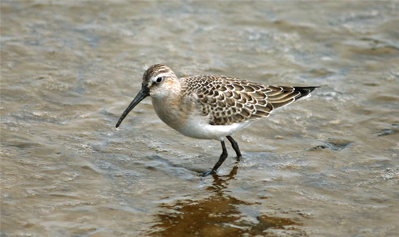 Curlew Sandpiper at Cley by Julian Bhalerao