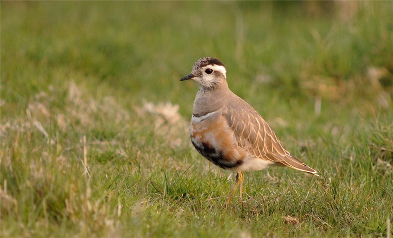 Dotterel by Julian Bhalerao