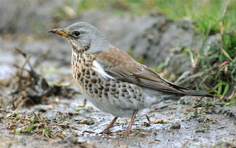 Fieldfare by Julian Bhalerao