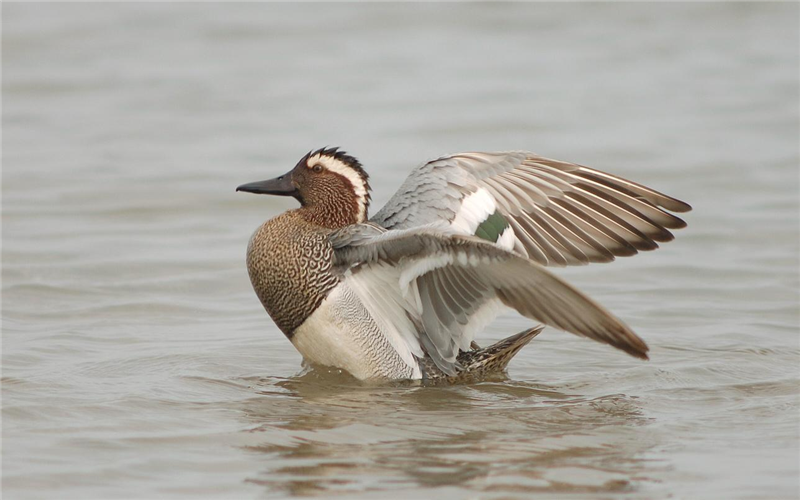 Garganey at Cley by Julian Bhalerao