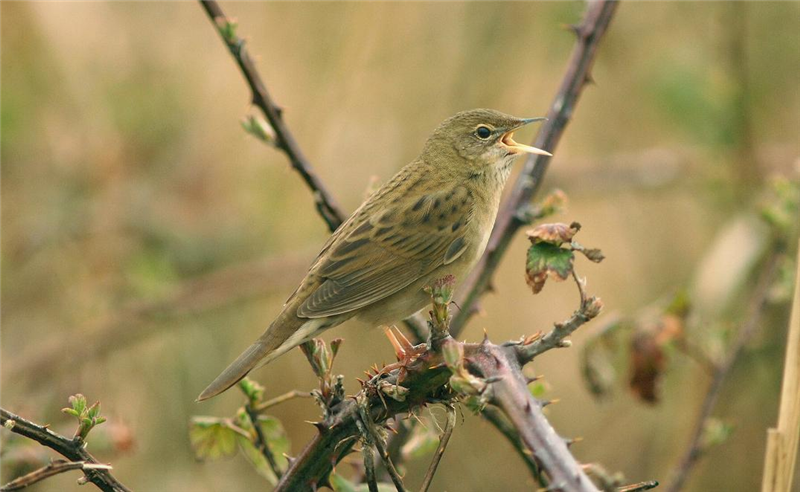 Grasshopper Warbler at snettisham CP by Julian Bhalerao