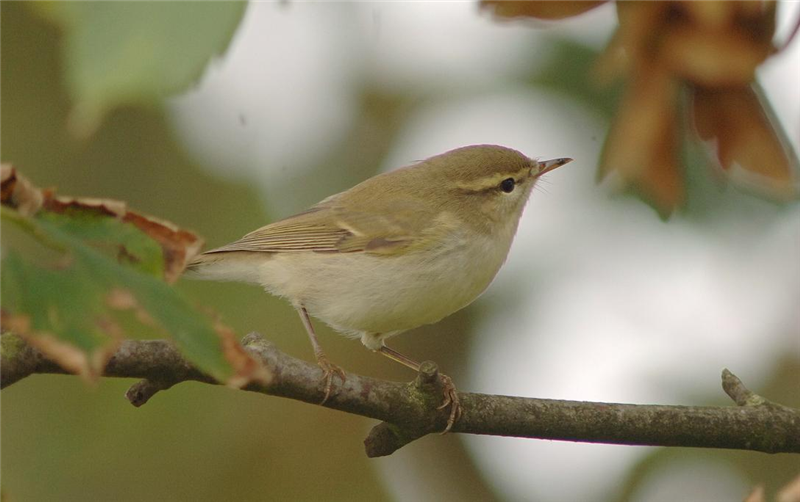 Greenish Warbler in the plantation by Julian Bhalerao