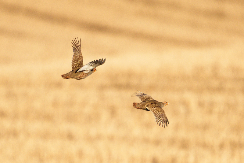 Grey Partridge at Flitcham by Paul Rowe