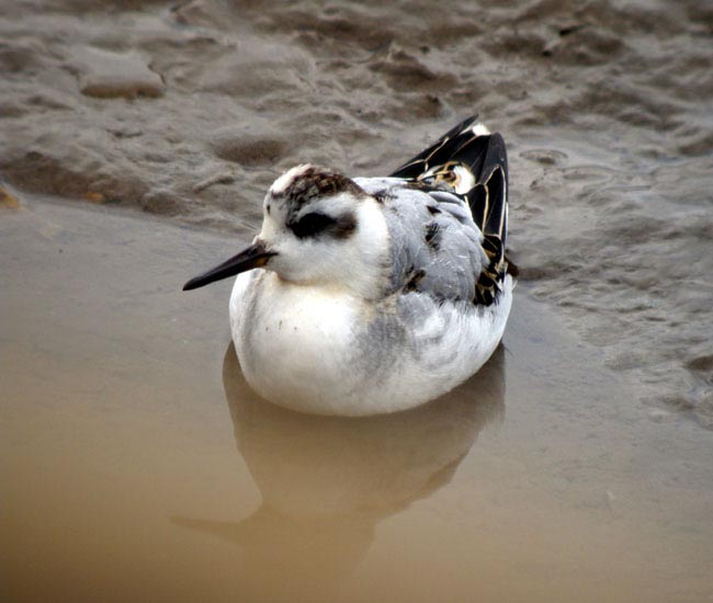 Grey Phalarope at Thornham marshes by Robin abel