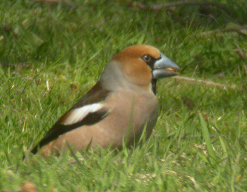 Hawfinch by Will Soar