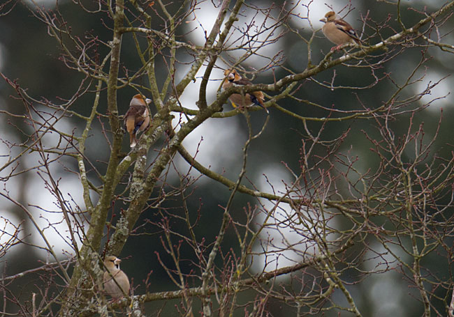 Hawfinches by Steve Gantlett