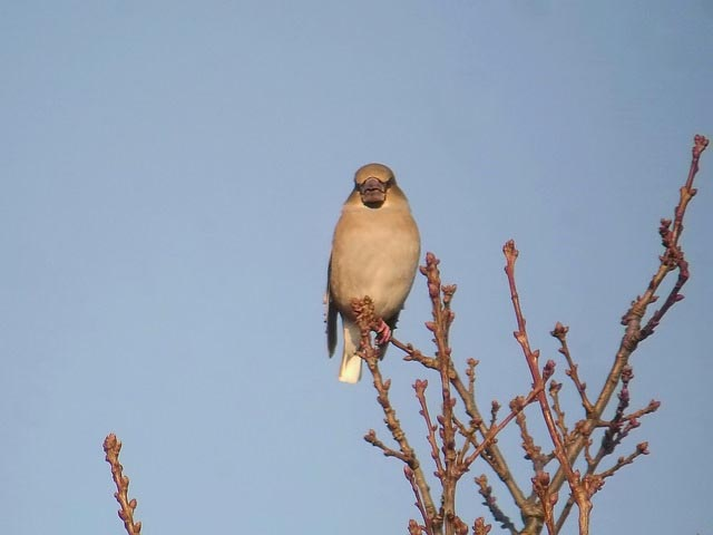 Hawfinch by Rob Lee
