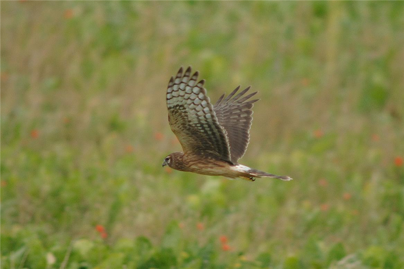 Hen Harrier over Stiffkey marshes by Julian Bhalerao