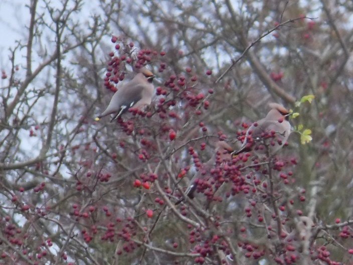 Waxwings at Hickling Stubb mill