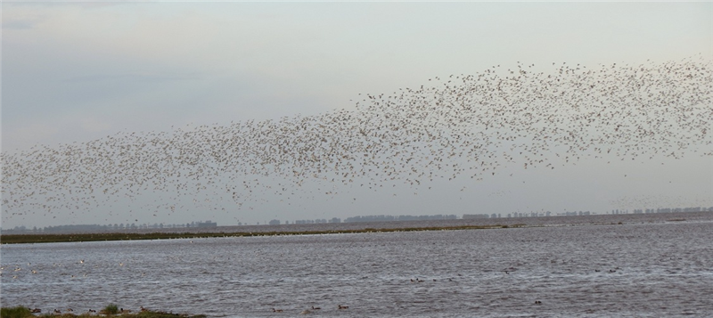 Waders over the wash at Snettisham