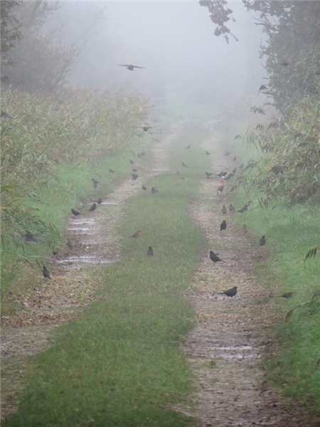An autumn fall of Blackbirds along bones drift