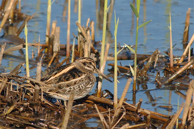 Jack Snipe at Titchwell by Julian Bhalerao