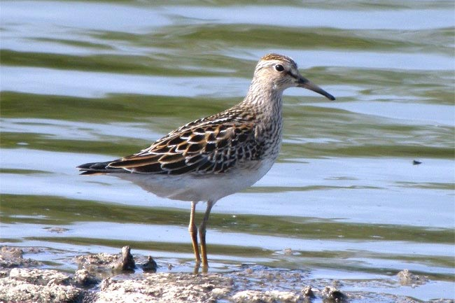Pectoral Sandpiper at Cantley by Robin Abel