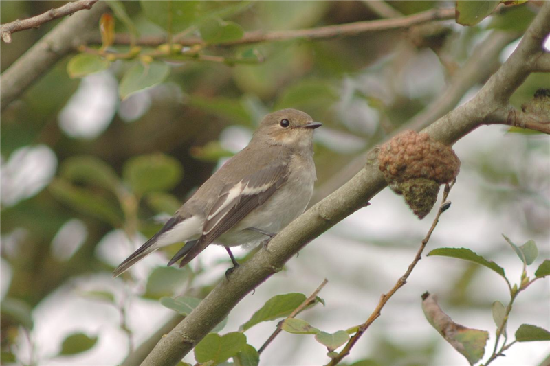 Pied Flycather by Julian Bhalerao