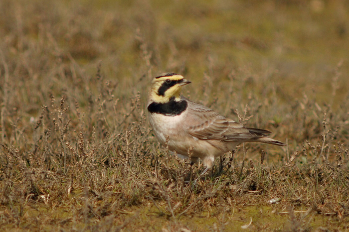 Shorelark at Holkham by Julian Bhalerao
