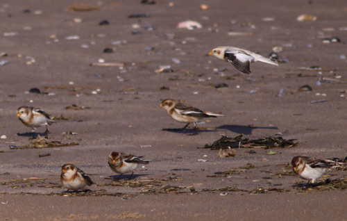 Snow Buntings on Titchwell beach by Will Soar