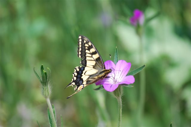 Swallowtail at Strumpshaw by Julian White