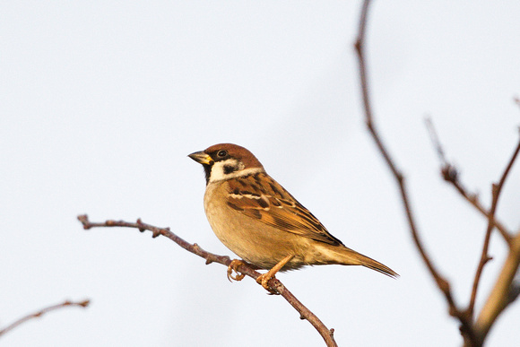 Tree Sparrow at Flitcham by Paul Rowe