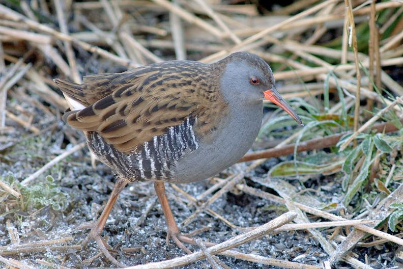 Water Rail at Sculthorpe by Julian Bhalerao