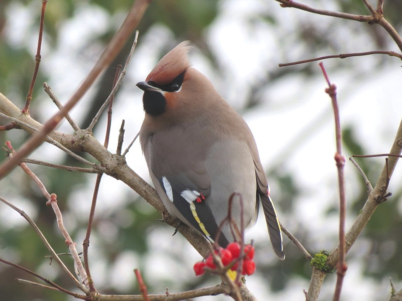 Waxwing by Stuart White