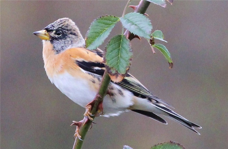 Brambling by Sue Lawlor
