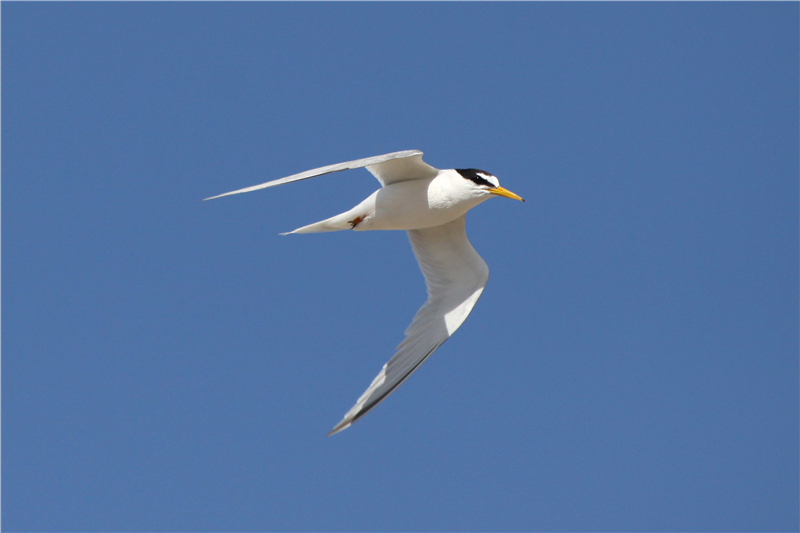 Little Terns by Nick Appleton