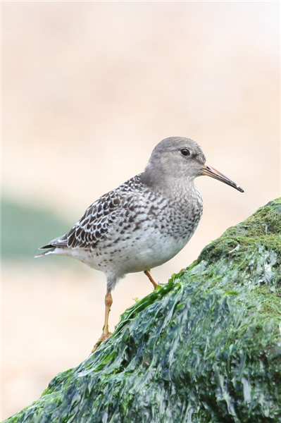 Purple Sandpiper by Sue Lawlor