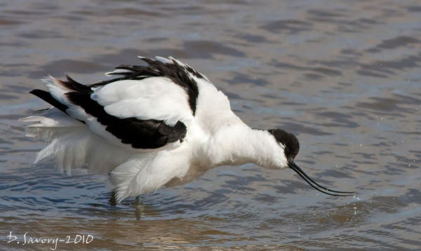 Avocet by David Savory www.fenland-photography.co.uk