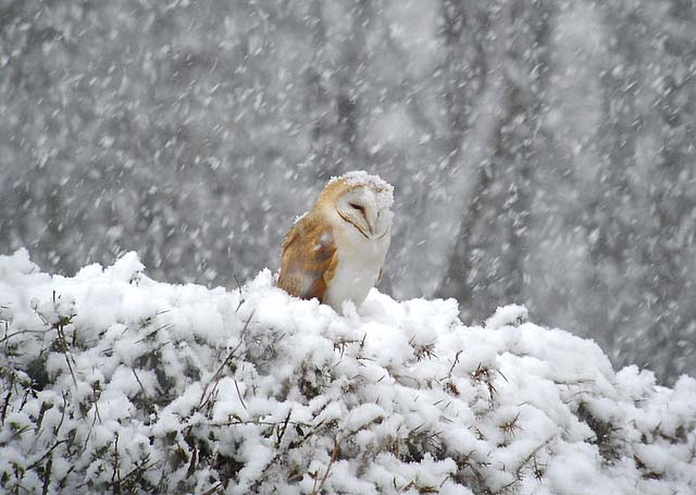 Barn Owl by Rob Lee