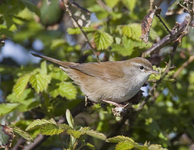 Cetti's Warbler by Steve Gantlett www.birdingworld.co.uk / www.sgbirdandwildlifephotos.co.uk