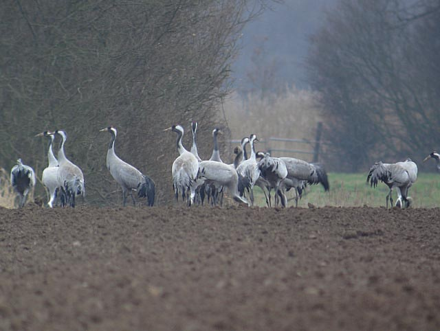Common Crane by Rob Lee