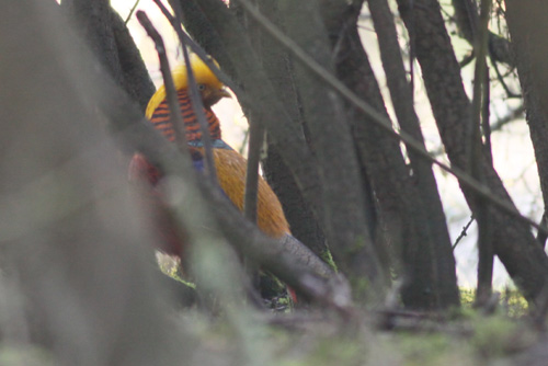 Golden Pheasant by Will Soar