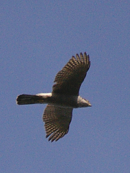Goshawk by Tony Bates