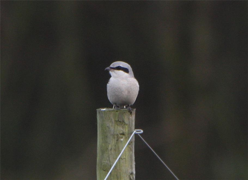 Great Grey Shrike by Dave Mansell