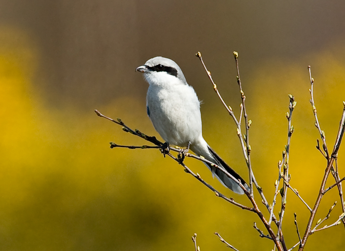 Great Grey Shrike by John Miller www.kellingnaturegallery.fotopic.net