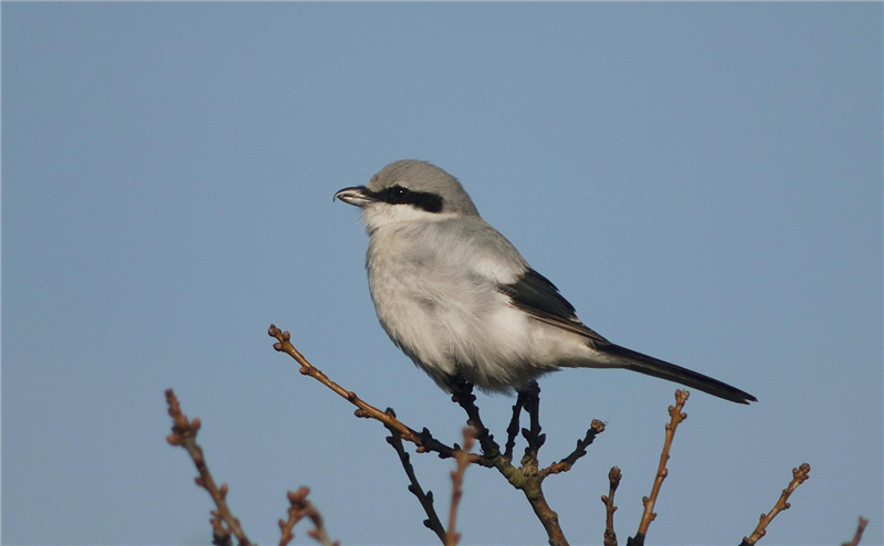 Great Grey Shrike by Julian Bhalerao