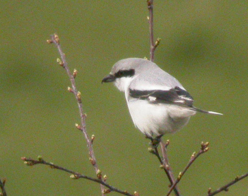 Great Grey Shrike by Will Soar