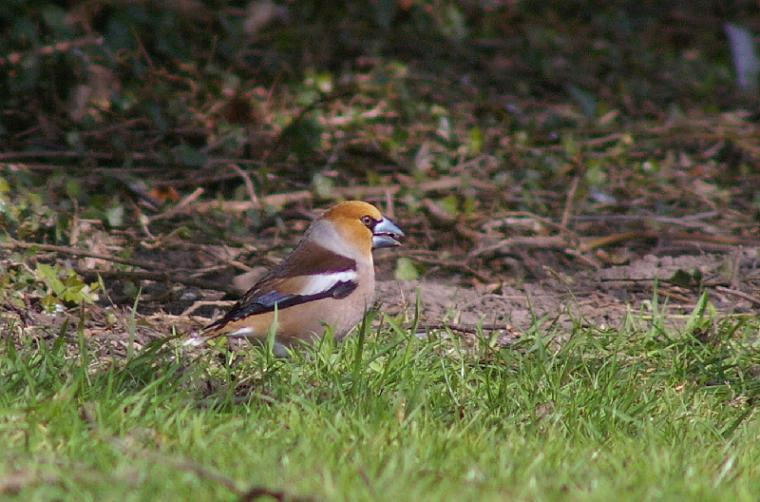 Hawfinch by Dave Curtis