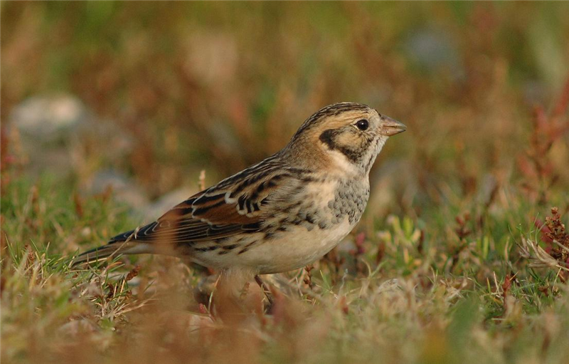 Lapland Bunting by Julian Bhalerao