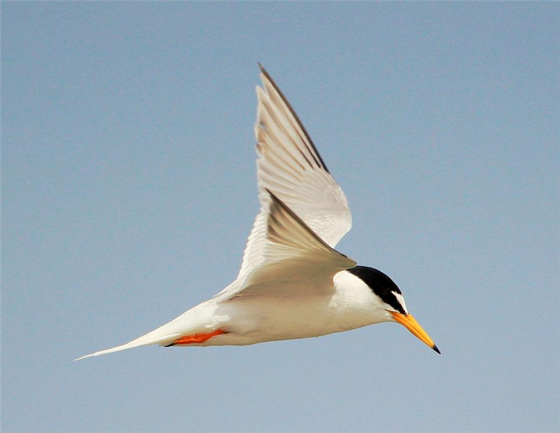 Little Tern by John Betts
