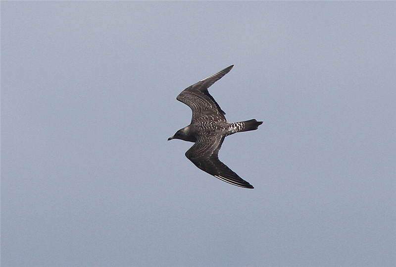 Long-tailed Skua by Brian Field
