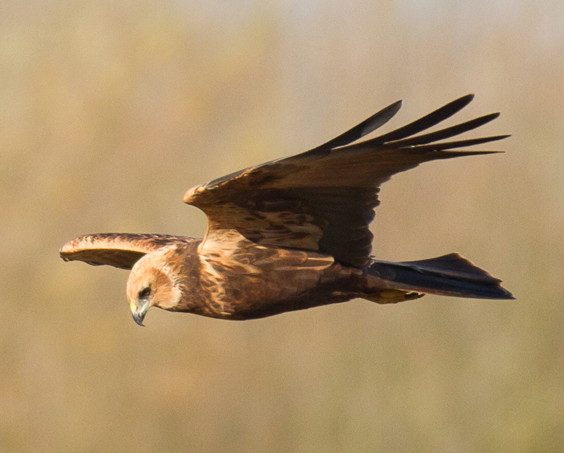 Marsh Harrier by Clive Keable