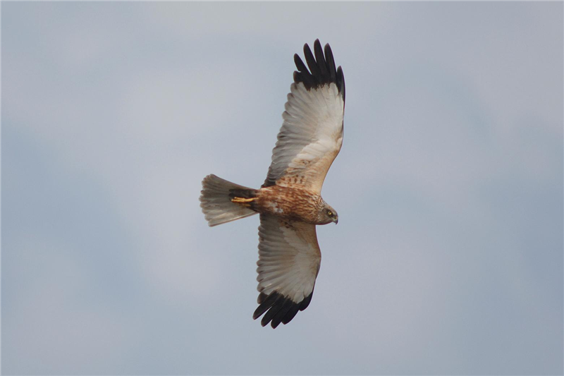Marsh Harrier by Julian Bhalerao