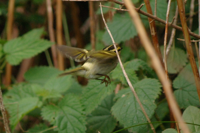 Pallas's Warbler by Julian Bhalerao