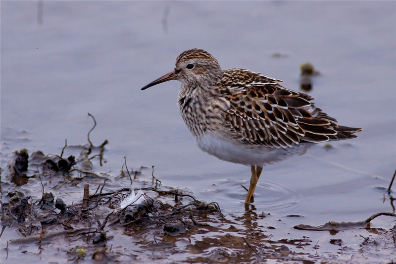 Pectoral Sandpiper by Will Soar