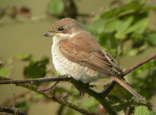 Red-backed Shrike by Will Soar